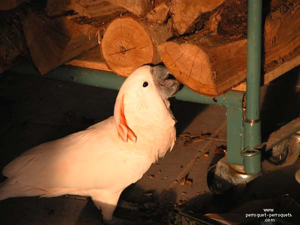 Logs for fireplace are at risk for parrots living in our homes.