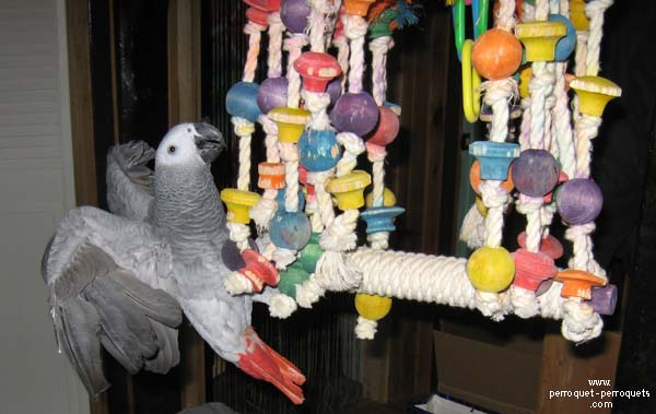 Parrots needs a lot of toys to prevent boredom.