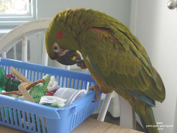 Ara rubrogenys parrot and its treasure chest full of toys.