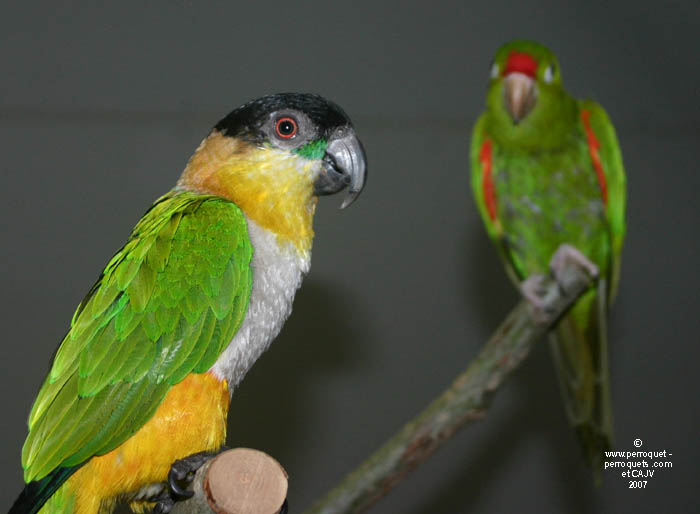 Owners often associate their parrot pet with beavioural problem notion.