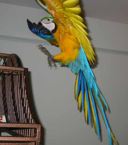 In parrot, innate results from endogenous situations.
