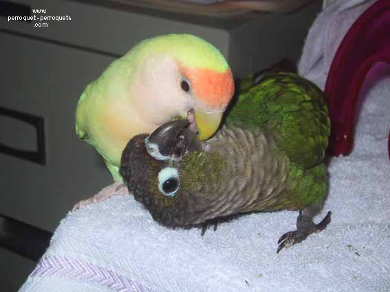 Parrots choose by themselves their life companion.