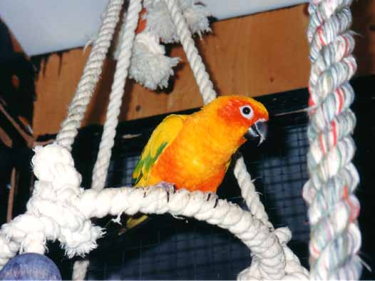 A parrot that screams, shouts and have lot of voice, the sun conure!