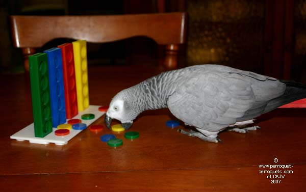Autonomous African grey playing with a color toy.