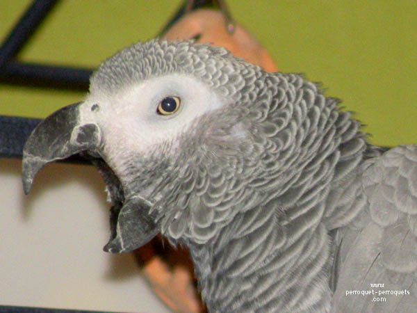 African grey parrot in a domestic context.